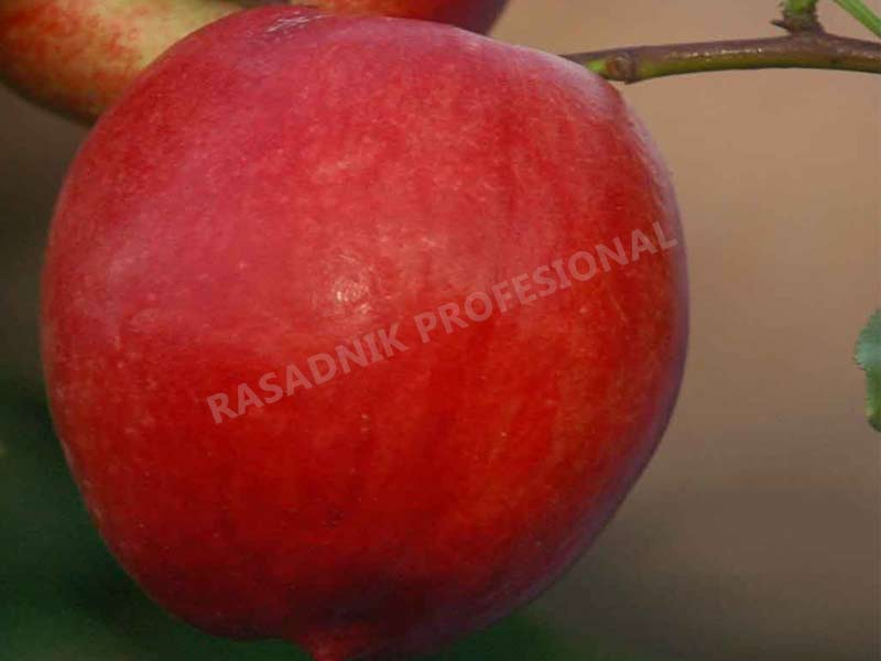 vocne sadnice nektarine kaldezi