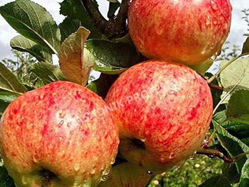 prodaja sadnica stare sorte jabuka krstovaca