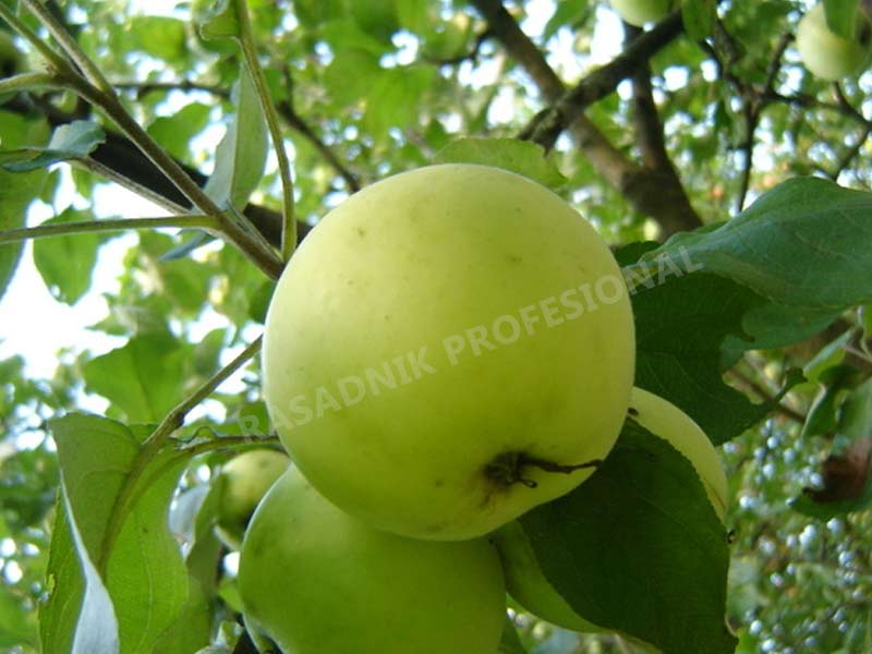 prodaja sadnica stare sorte jabuka petrovka