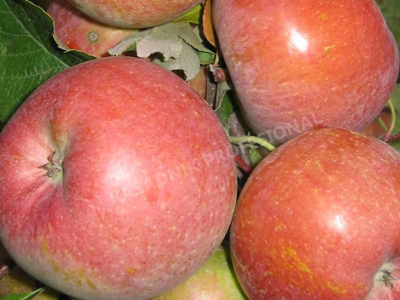prodaja sadnica stare sorte jabuka tetovka