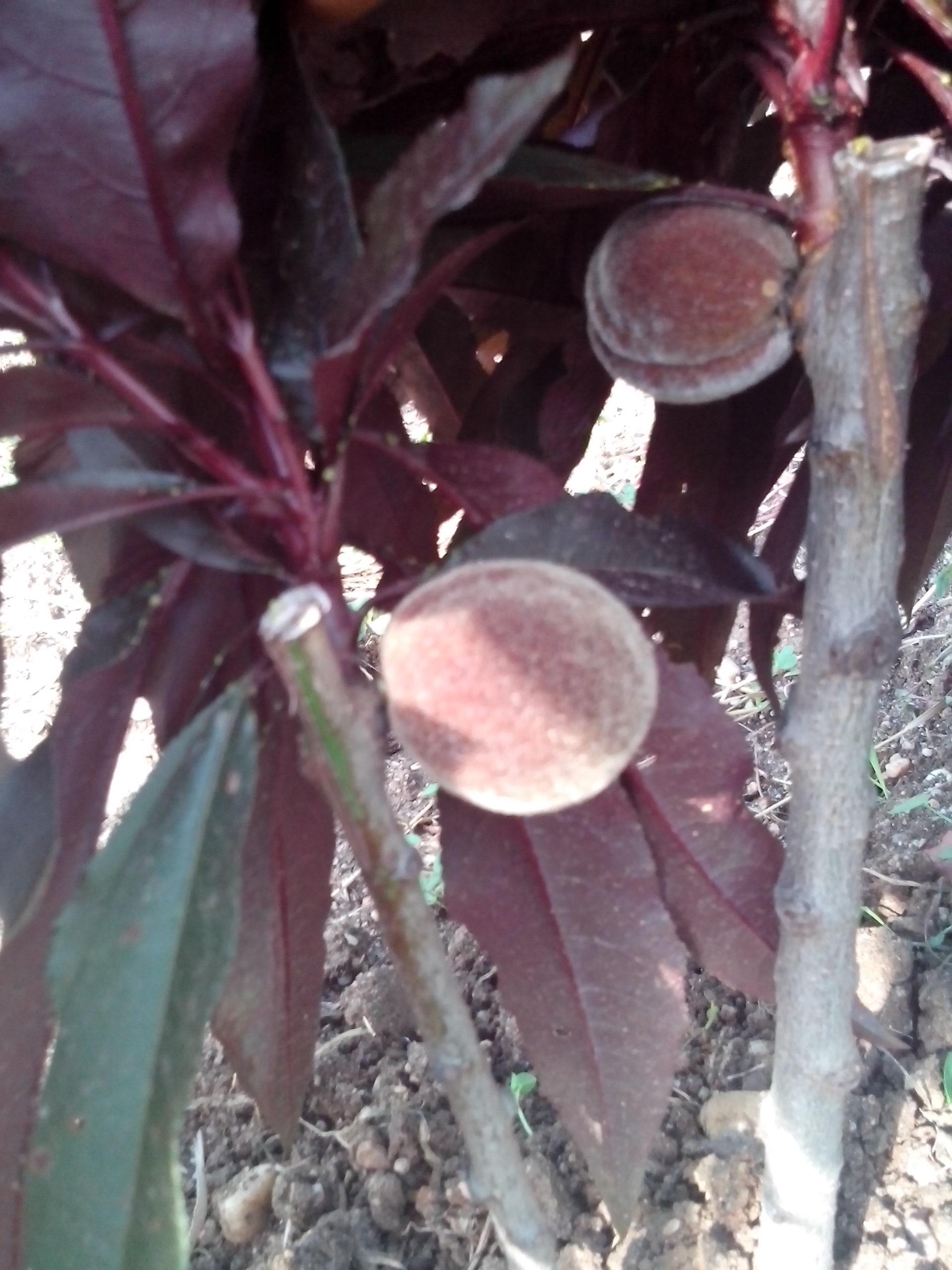 crvenolisna patuljasta breskva