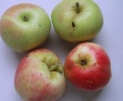 Petrovka jabuka