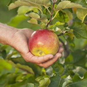 stare sorte jabuke