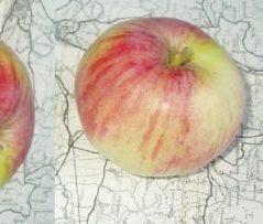 jabuka ruzmarinka