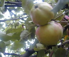 Sadnice zebičanka jabuka